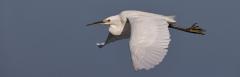 Little Egret (Image ID 43623)