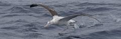Wandering Albatross (Image ID 43621)
