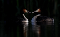 Great Crested Grebe (Image ID 43655)