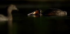 Great Crested Grebe (Image ID 43651)
