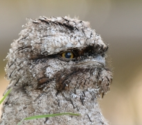 Tawny Frogmouth (Image ID 43572)