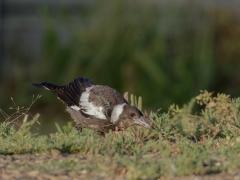 Australian Magpie (Image ID 43541)