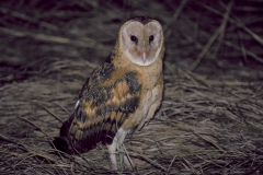 Eastern Grass Owl (Image ID 43566)