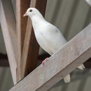 Rock Dove (Image ID 43321)