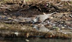 Peaceful Dove (Image ID 43589)