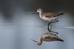 Marsh Sandpiper (Image ID 43235)