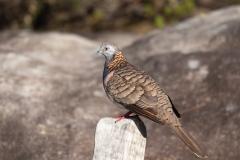 Bar-shouldered Dove (Image ID 43498)