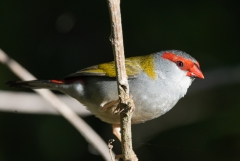 Red-browed Finch (Image ID 43469)
