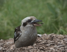 Laughing Kookaburra (Image ID 43213)