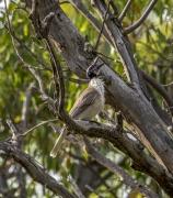 Noisy Friarbird (Image ID 43602)