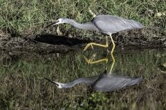 White-faced Heron (Image ID 43229)