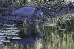 White-faced Heron (Image ID 43228)