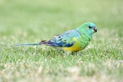 Red-rumped Parrot (Image ID 43738)