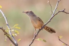 Spinifexbird (Image ID 43837)