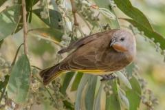 Rufous-throated Honeyeater (Image ID 43835)
