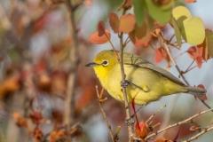Australian Yellow White-eye (Image ID 43932)