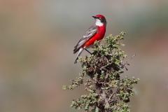 Crimson Chat (Image ID 43915)