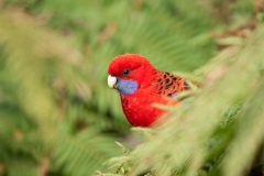 Crimson Rosella (Image ID 43699)