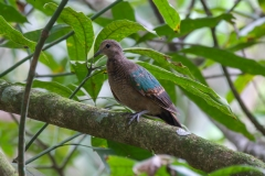 Grey-capped Emerald-Dove (Image ID 43673)
