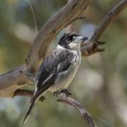 Grey Butcherbird (Image ID 43687)