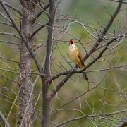 Australian Reed-Warbler (Image ID 43689)