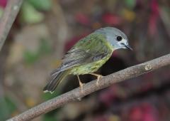 Pale-yellow Robin (Image ID 43832)