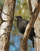 White-winged Chough (Image ID 43833)
