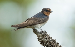 Welcome Swallow (Image ID 43917)