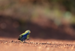 Rock Parrot (Image ID 43757)