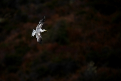 Greater Crested Tern (Image ID 43676)