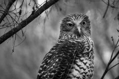 Powerful Owl (Image ID 43937)