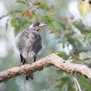 Australian Magpie (Image ID 43762)