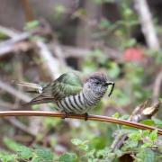 Shining Bronze-Cuckoo (Image ID 43711)