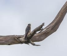 Peregrine Falcon (Image ID 44040)