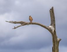 Brown Falcon (Image ID 44039)