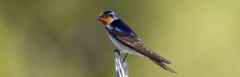 Welcome Swallow (Image ID 43685)