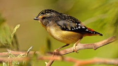 Spotted Pardalote (Image ID 44497)