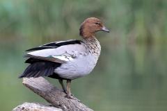 Australian Wood Duck (Image ID 44089)