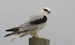 Black-shouldered Kite (Image ID 44164)