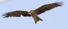 Black Kite (Image ID 44077)
