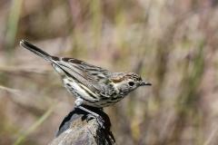 Speckled Warbler (Image ID 44060)