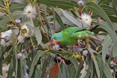 Swift Parrot (Image ID 44367)