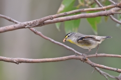 Striated Pardalote (Image ID 44099)