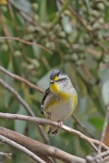 Striated Pardalote (Image ID 44100)