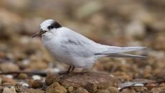 Fairy Tern (Image ID 44111)