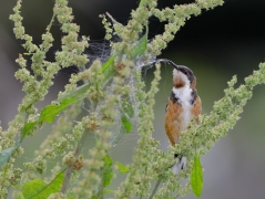 Eastern Spinebill (Image ID 44247)