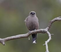 Dusky Woodswallow (Image ID 44213)