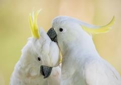 Sulphur-crested Cockatoo (Image ID 44123)