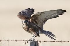 Brown Falcon (Image ID 44254)