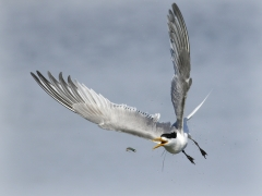 Greater Crested Tern (Image ID 44372)